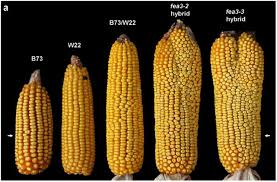 food security green design innovation architecture this weird breed of mutant corn could solve world hunger