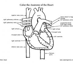 Small Picture Heart anatomy coloring pages heart coloring page image excellent
