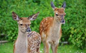 biblical meaning of deer in dreams