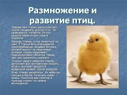 Класс Птицы Размножение у птиц реферат