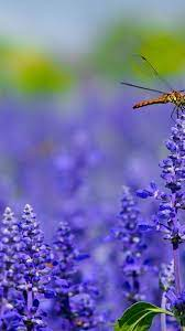 Dragonfly On Lavender Iphone Wallpaper ...