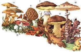 Ядовитые грибы России Как определить ядовитый гриб как отличить  Определитель грибов как отличить съедобные грибы как отличить ядовитые грибы календарь грибника