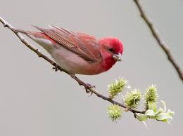 Common Rosefinch - eBird