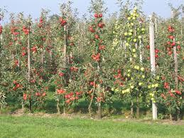Kersenboom, sylvia kopen