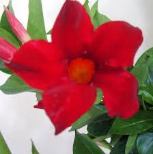 amazon red mandevilla dipladenia tropical vine live plant brazilian jasmine starter size 4 inch pot emerald tm garden outdoor