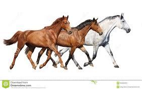 wild white horses running free. Unique Horses Herd Of Wild Horses Running Free On White Background In Wild White Horses Running Free T