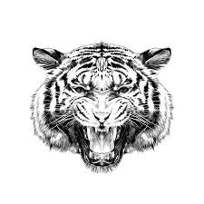 tiger face growling drawing. Fine Drawing Tiger Head Growling Sketch Vector Graphics Black And White Drawing Royalty  Free Cliparts Vectors Stock Illustration Image 80872450 For Face