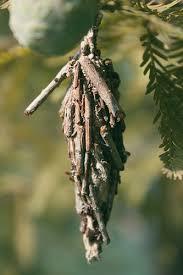 Bagworm Alert Dees Outdoor Info Blog