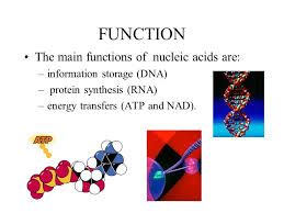 Functions Of Nucleic Acids Magdalene Project Org