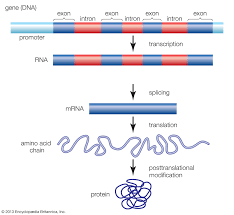 Protein Synthesis Flow Chart Key Transcription Definition Steps Biology Britannica