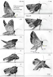 What Did Moths Do Before Lights Jumping Mechanisms And Strategies In Moths Lepidoptera