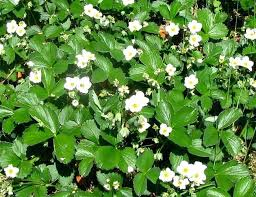 strawberry groundcover strawberry flowers wild strawberry plants ground cover