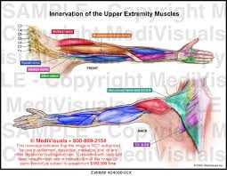 Innervation Of The Upper Extremity Muscles Medical Exhibit