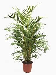 Office pot plants Home Palms 8 Pot Plants Aliexpress Buy Indoor House Office Plants Online Uk Wide Delivery