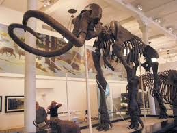mammoth skeleton at the american museum of natural history photo mammoth skeleton at the american museum of natural history photo by mark ryan