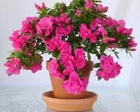 açelya çiçeği ile ilgili görsel sonucu