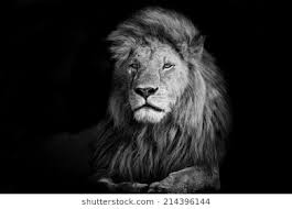 lion wallpaper black and white.  White Beautiful Lion Romeo 2 In Masai Mara Kenya To Wallpaper Black And White
