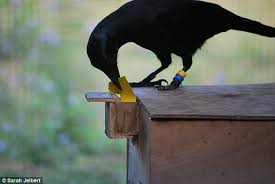 Pluto Gets The Paper Vending Machine Stunning Crows Can Make Tools From Memory And Will Improve On Own Designs