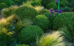 Small Picture Stipa tenuissima box balls and allium Grasses Pinterest