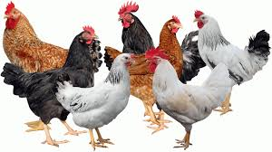 Chicken Breed Chart Pdf Difference Between Kuroiler Kenbro Rainbow Rooster And
