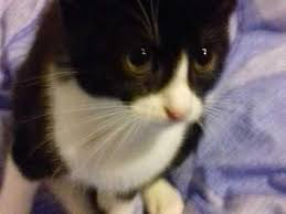 black and white kittens for sale. Delighful Black 1 Cute Black And White Ragdoll Cross Kittens For Sale In Dover  Sold   Friday Ad Throughout Black And White Kittens For Sale D