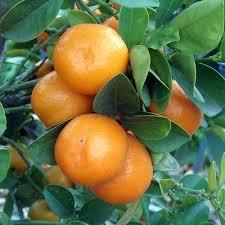 Kumquat Plant Stock Photos U0026 Kumquat Plant Stock Images  AlamyKumquat Tree Not Bearing Fruit