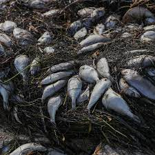 Red Tide Piles Up Dead Fish on Florida ...