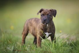 Your veterinarian will be able to give you the best prediction as puppies. Staffordshire Bull Terrier Info Temperament Puppies Pictures