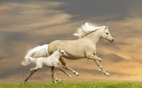 white baby horses playing. Contemporary Playing Baby White Horse  Wallpaper Intended Horses Playing S