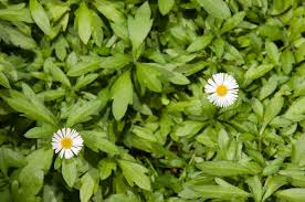 green plant with tiny white daisy like flowers