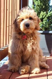 Mini Goldendoodle Weight At 12 Weeks Goldenacresdogs Com
