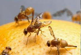 fruit flies on an orange l