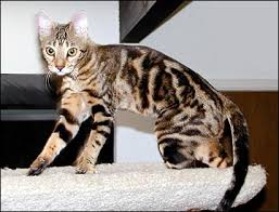 Cat Colors And Patterns Extraordinary Bengal Cats Colors And Patterns Of The Bengal Cat Bengals Are Bred