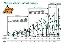 Wheat Growth Chart Nitrogen Uptake In Corn And Wheat Nitrogen Use Efficiency