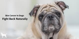 dog skin cancer natural options that