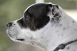 Staffy Colour Chart Staffordshire Bull Terrier Wikipedia