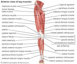 Quadriceps Femoris Muscle Anatomy Britannica