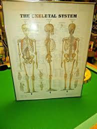 The Skeletal System 1997 Anatomical Chart Co Medical Illustrations Framed Chart