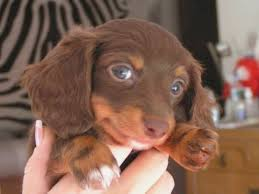 15 best puppies i want images on dachshunds doggies