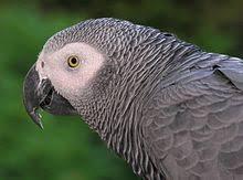 Grey Parrot Wikipedia