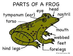 Parts Of A Frog Enjoy This Parts Of A Frog Diagram Freebie The File Includes 4