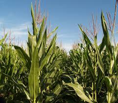 one grow corn