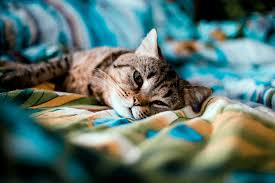 Your pets can catch Covid from you, and cats appear more susceptible than  dogs