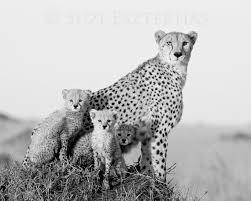 baby white cheetah.  Baby Image 0 Intended Baby White Cheetah 1