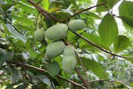 Growing Pecans In North Carolina  NC State Extension PublicationsFruit Trees That Grow In Nc
