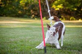 a dog playing with tether tug dog toy on grass