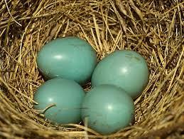 eastern bluebird nest and eggs