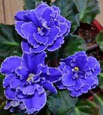 standard flower size blueberry mint standard african violet flowers beautiful