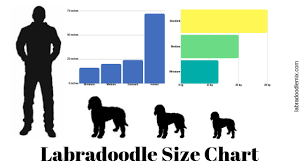 How Big Do Labradoodles Get Ultimate Labradoodle Size Guide