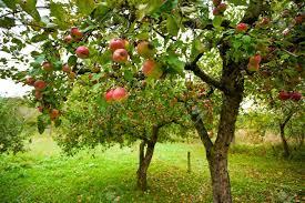 """Résultat de recherche d'images pour """"verger pommes"""""""